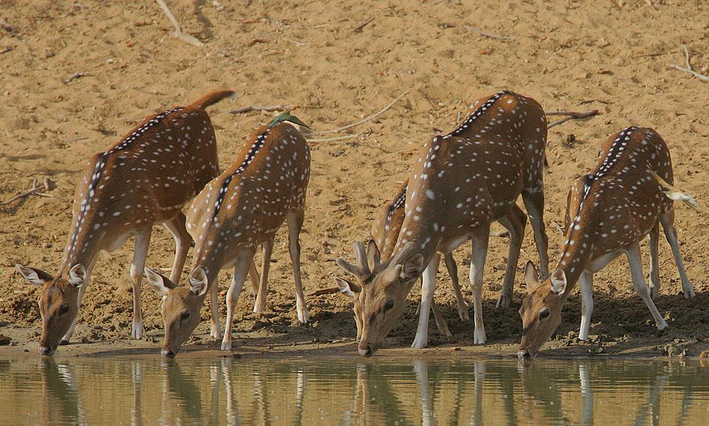 cheetal spotted deer